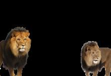 dos leones enojados marco de la foto 220x150 - dos leones enojados marco de la foto