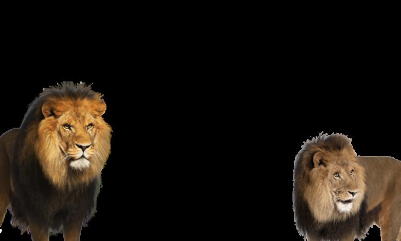 dos leones enojados marco de la foto 780x470 - dos leones enojados marco de la foto