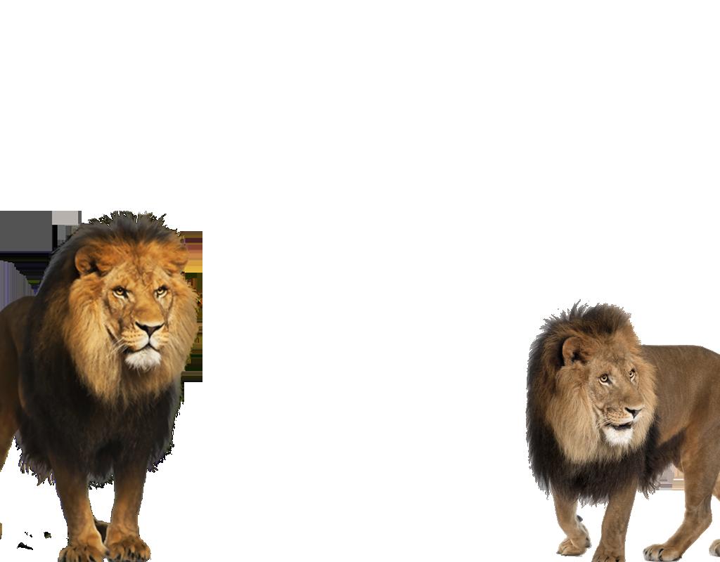 dos leones enojados marco de la foto - dos leones enojados marco de la foto